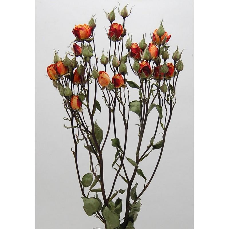 【ドライ】コアトレーディング/スプレーローズ・オレンジ系 2~3本 ナチュラル/17826【21】【21】【取寄】[10束]《 ドライフラワー ドライフラワー花材 バラ(ローズ) 》