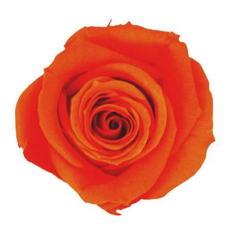 【プリザーブド】ヴェルディッシモ/ミニ Aバルク オレンジ 72輪入/58-926【01】【01】【取寄】