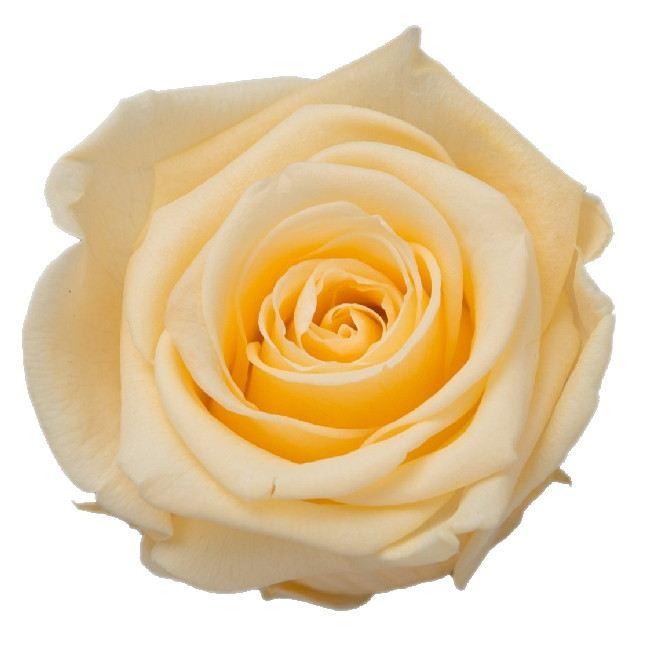 プリザーブドフラワー プリザーブドフラワー花材 バラ ローズ 手作り 高級 材料 新色 即日 PG004-07プリザーブドフラワー KIARA プリザーブド シャンパーニュ 3輪 ローズLL