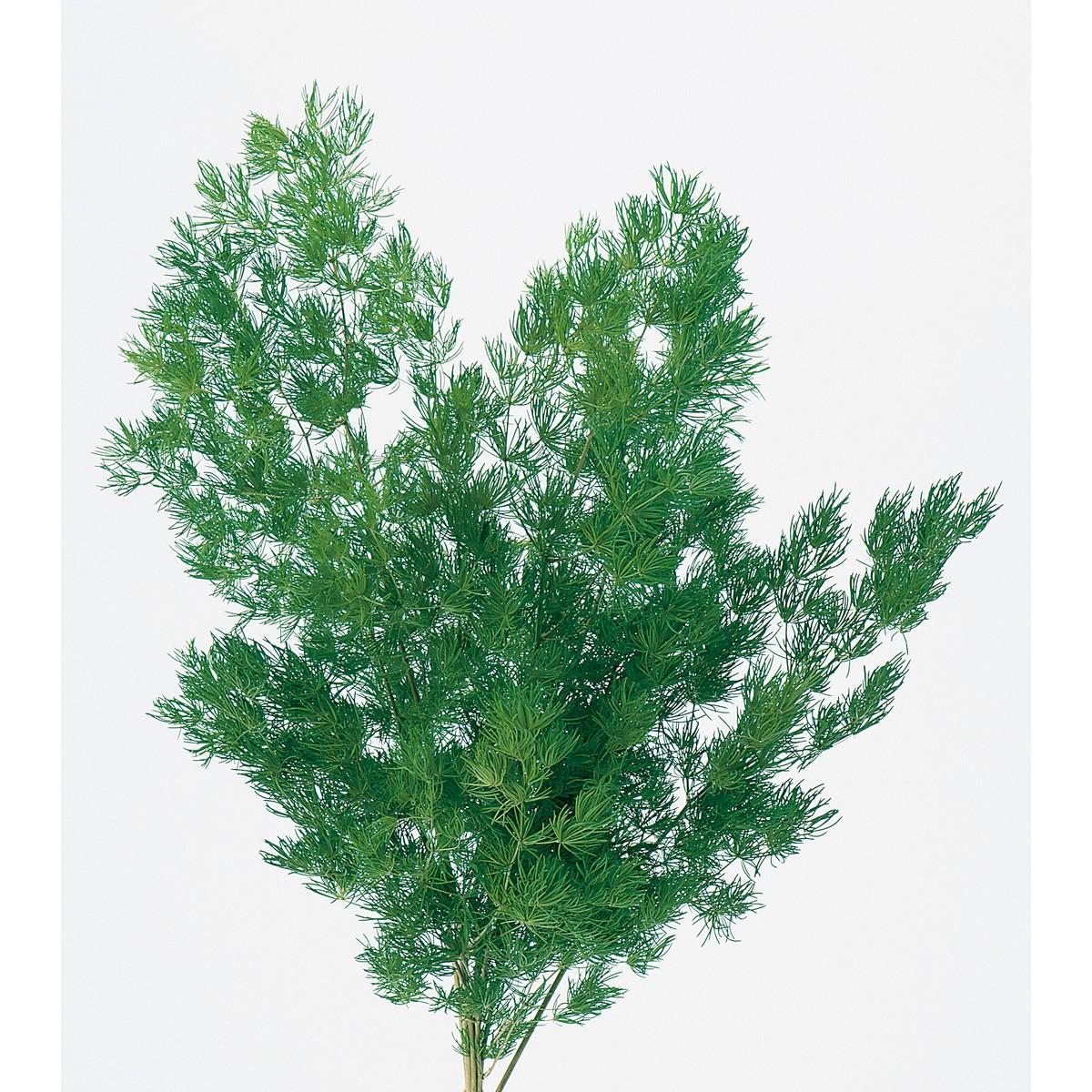 プリザーブドフラワー プリザーブドグリーン 葉物 値下げ 手作り 材料 当店限定販売 即日 00160-700プリザーブドフラワー ミリオクラダス プリザーブド 15gグリーン 大地農園