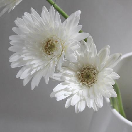 お届日に合わせて仕入れて新鮮なお花を発送 生花 当店一番人気 さぎやま ガーベラ 白芯白セミダブル ホワイトジュエル 10本 期間限定特別価格