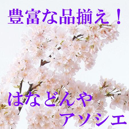 【造花】アスカ/桜×790 つぼみ×25 ピンク/A-30970-3【01】【取寄】
