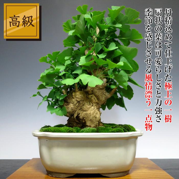 Hanagokoro Bonsai Seasonal Golden Leaves Ginkgo Biloba Tree W