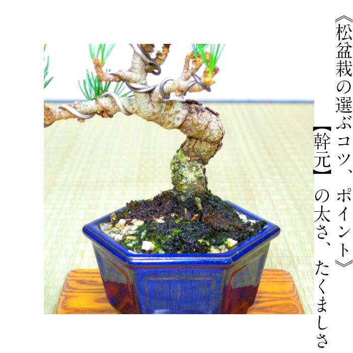 Exceptional Tree Thick Stem Best Old 5 Years Shikoku Goyo Pine Mini Bonsai W Gift Planning Mini Bonsai Japanese Interior Bonsai Bonsai Bonsai