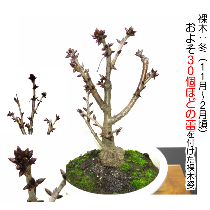 1-year-old flower-filled cherry blossom bonsai
