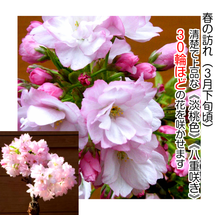 1 岁满鲜花樱花盆景