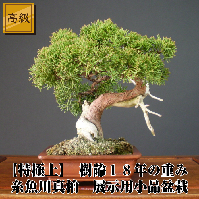 See old age 18-year luxury itoigawa Shin Kashiwa 18 cm and 22 cm / 25 cm