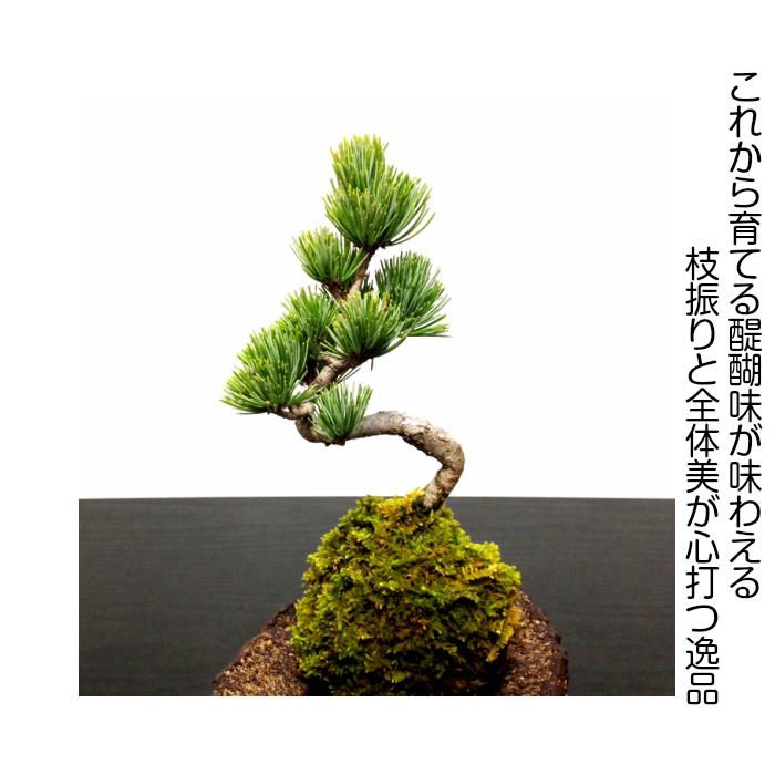 hanagokoro-bonsai | Rakuten Global Market: \