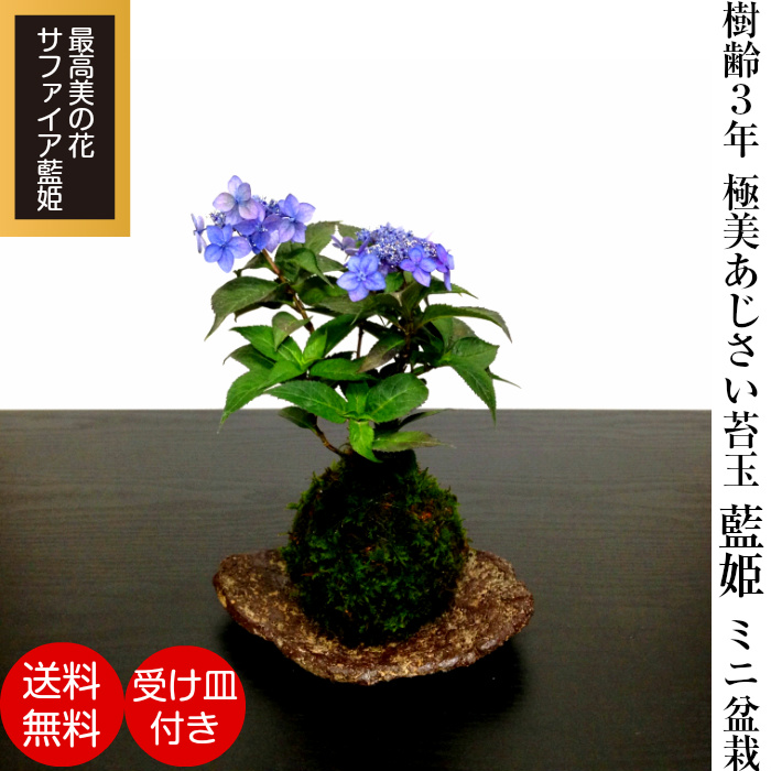 Hanagokoro Bonsai Highest Quality Saitama Bonsai Brand Hydrangea