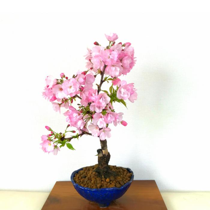 盆栽 桜 八重桜 樹齢6年 極太幹 八重桜 盆栽 八重咲き 50個以上の蕾をつけた八重桜 盆栽 桜 盆栽 盆栽 ミニ 室内 初心者 おしゃれ 盆栽 誕生日 インテリア 植物 趣味 癒し 盆栽 ギフト