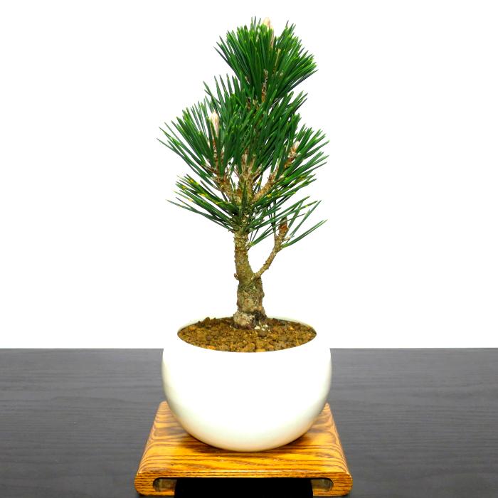 """Bonsai ☆ new year's auspicious high beauty black hue ☆ plants bonsai pine black pine bonsai bonsai bonsai bonsai gifts Fortune """"auspicious table bonsai"""" W ..."""
