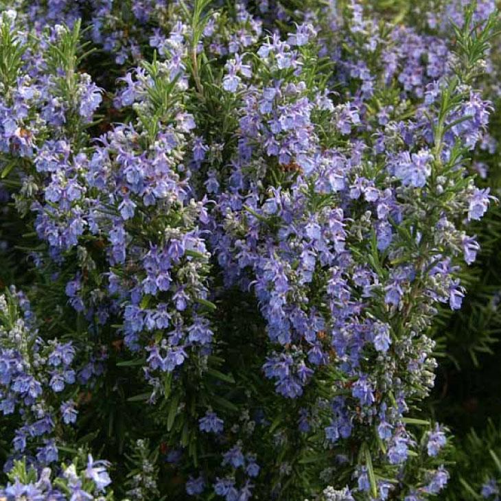 寒さに強い多花性の品種です ローズマリー 立性 苗 販売期間 限定のお得なタイムセール 出色 ベネンデンブルー 立性タイプ 3号ポット苗 ハーブバス 料理 庭植え ポプリ ハーブティー ドライフラワー ハーブ