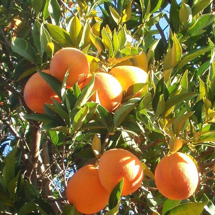 ブラッドオレンジで一番赤みが強い品種 超激得SALE ブラッドオレンジ 苗 最新 モロ 1年生 接ぎ木苗オレンジ 蜜柑 みかん 柑橘苗木 雑柑 常緑 苗木 柑橘 果樹苗木 果樹