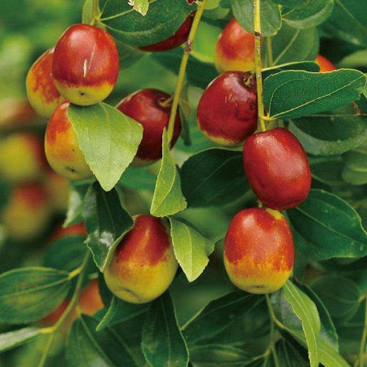 庭先で栽培されることが多い家庭果樹!美しい紅色の実は観賞用としても人気! なつめ 苗木 【日本ナツメ】 1年生苗 棗 苗 果樹 果樹苗