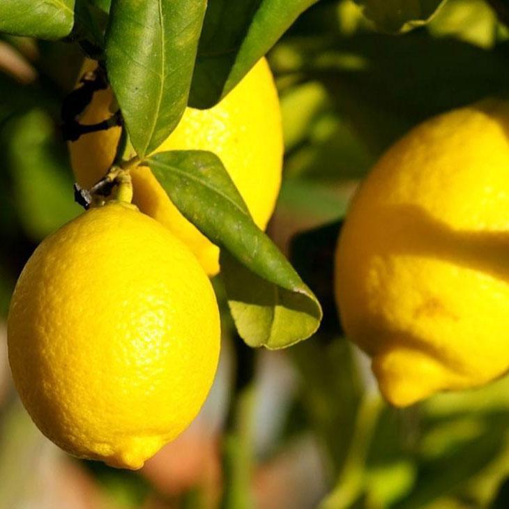 通販で買えるレモンの苗木一覧