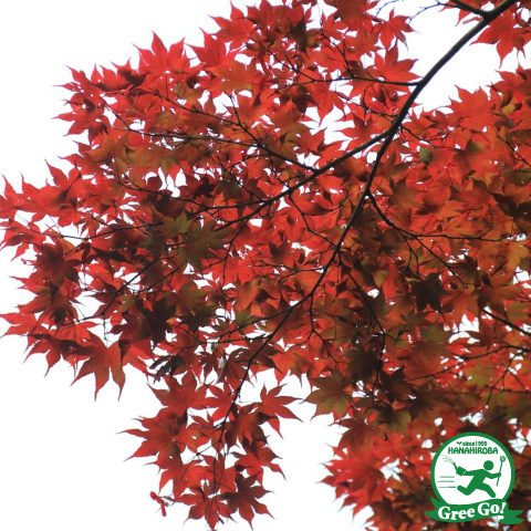 Hanahiroba87 Maple Young Plant Approximately 1 0m Size Seedling