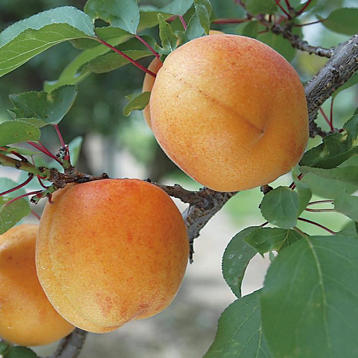 実が120gにもなる大果品種です 糖度も高い アンズ 苗木 在庫一掃 おひさまコット 旧名: サニーコット 登録品種 1年生 接ぎ木 !超美品再入荷品質至上! 杏 アプリコット ポット苗 苗 杏子 果樹 果樹苗