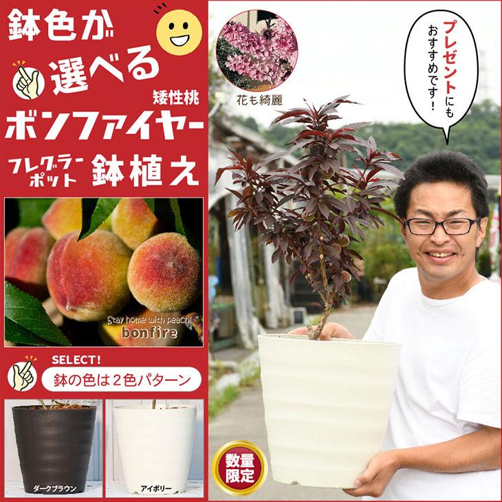 鉢色が選べる 矮性桃ボンファイヤーフレグラーポット鉢植え 桃 苗木 矮性桃ボンファイヤー鉢植え 接ぎ木 フレグラーポット鉢植え ギフト 果樹苗 果樹 日本最大級の品揃え 苗 矮性桃 アイボリーorダークブラウン もも