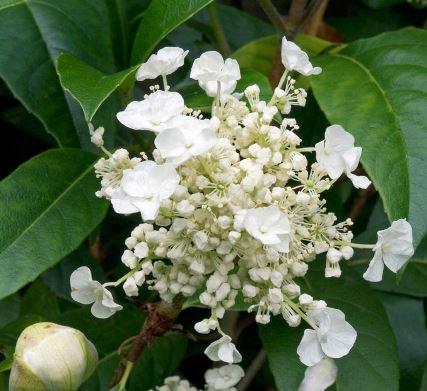 レア ユニークな植物 常緑 おトク お求めやすく価格改定 ツルアジサイ ハイドランジア 花木苗 庭木 シーマニー 3号ポット苗