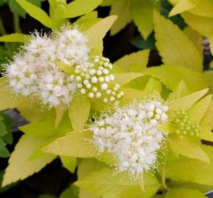 花苗 多年草 花木苗 期間限定で特別価格 シモツケ ホワイトゴールド カラーリーフ 庭木 捧呈 寄せ植え 3号ポット苗シュラブ