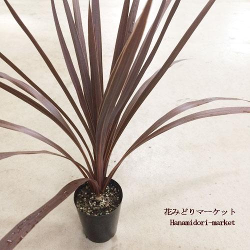 コルジリネ レッドスター 3号ポット苗 <BR>ドライガーデン 観葉植物