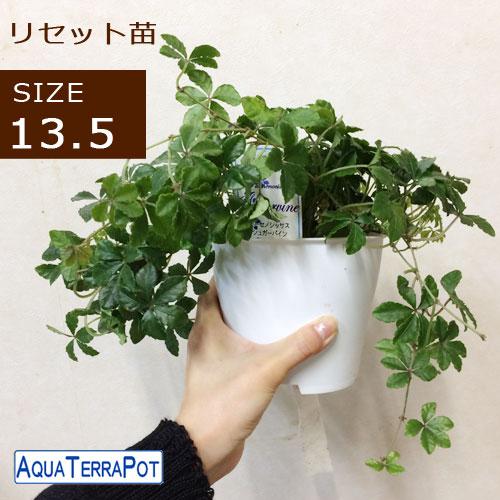 取り換え用♪ アクアテラポット リセット用苗 サイズ13.5 観葉植物全3種 シュガーバイン アイビー ペペロミア