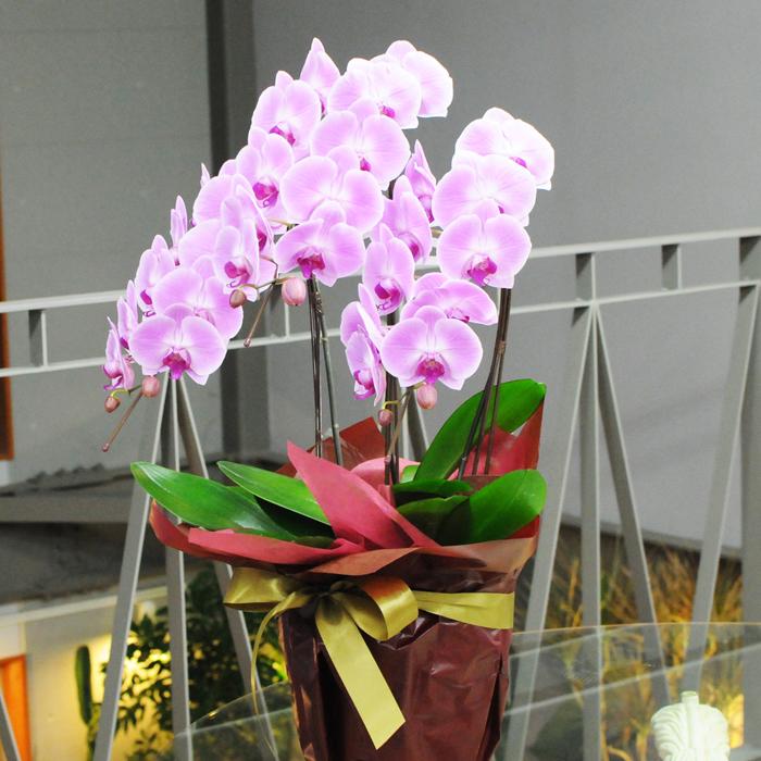 お祝いの花 開店祝い 胡蝶蘭 3本立ち 大輪 ピンク 2Lサイズ