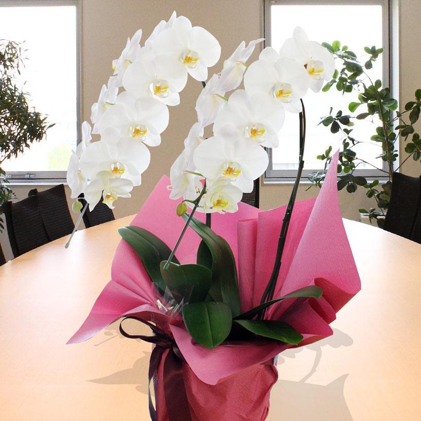 Phalaenopsis orchid flower gift 2 the large-flowered white opened celebrate celebration celebrations moved celebration ... & hanako: Phalaenopsis orchid flower gift 2 the large-flowered white ...