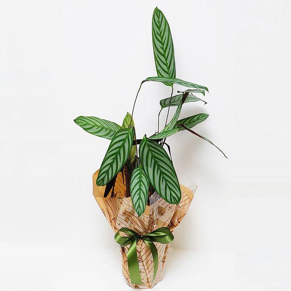 観葉植物 カラテア コンパクトスター 6号鉢