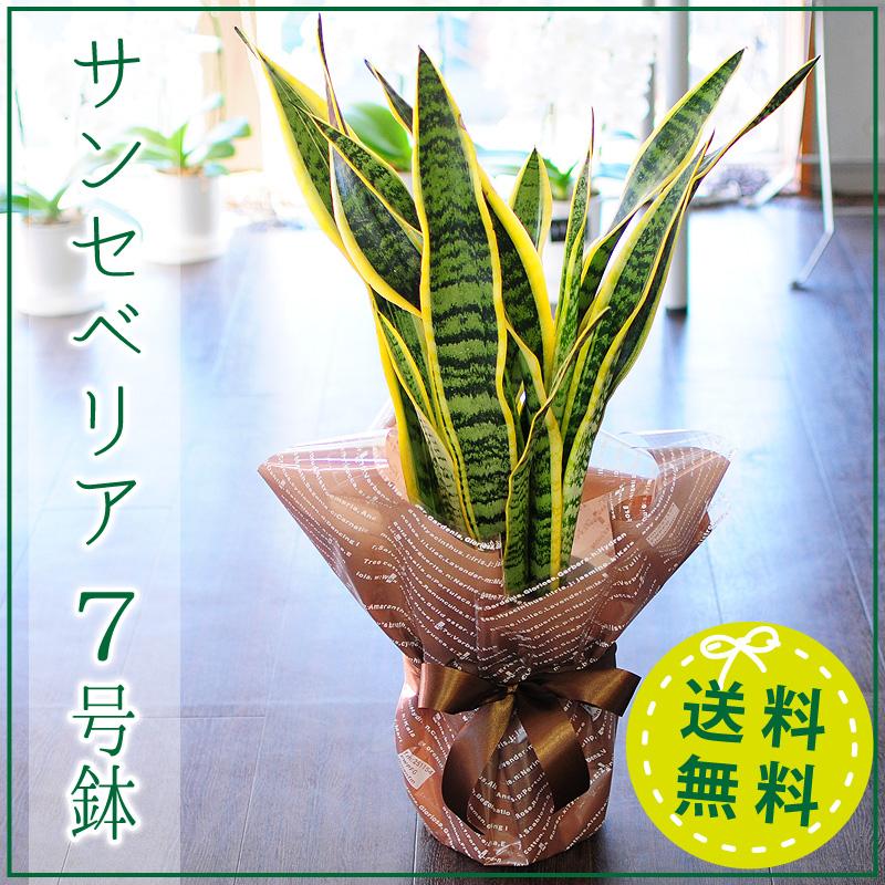 観葉植物 サンセベリア 7号鉢