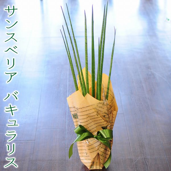 Mikado Plant
