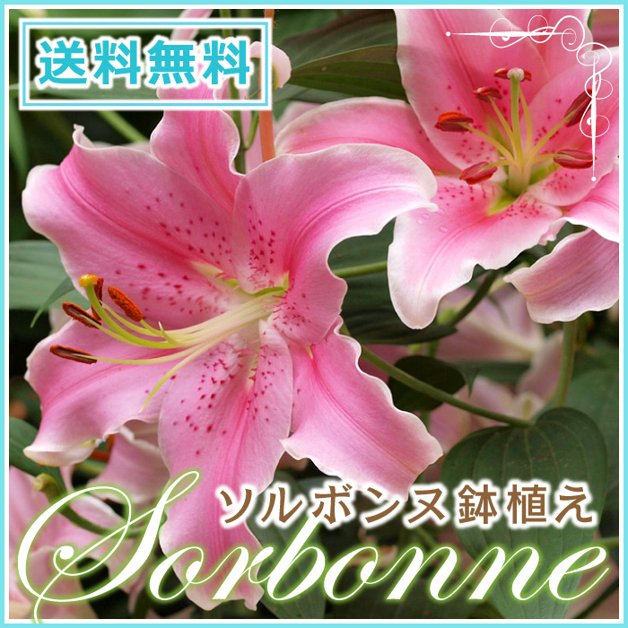 Hanako rakuten global market advance purchase mothers day yuri advance purchase mothers day yuri sorbonne potted pink lily yuri presents my mother day bowl floral flower gift flowery flower gift present flower cupid negle Gallery