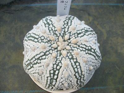 【現品】【サボテン類・アストロフィツム・スーパー兜・NO.5・陶器鉢植え】多肉植物・サボテン