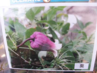 【魅惑のクレマチス・葵】4.5号芽出し充実苗・ヴィオルナ・テキセンシス系