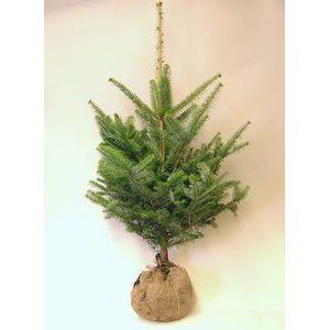モミの木 【もみの木高さ180cm】クリスマスツリーに最適!