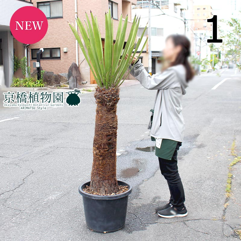 【現品】ユッカ・ファクソニアーナ 13号(1)【引越し祝い 開店祝い 新築祝い お祝い ギフト プレゼント】