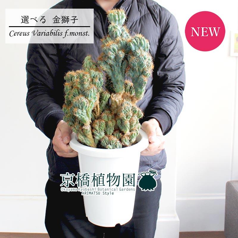 【現品】サボテン 金獅子(キンジシ)7号【選べる観葉植物】【インテリア おしゃれ 人気 通販 ギフト プレゼント】