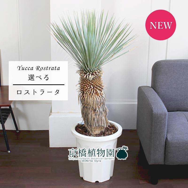 【現品】ユッカ・ロストラータ 10号【選べる観葉植物】【インテリア おしゃれ 人気 通販 ギフト プレゼント 大型】