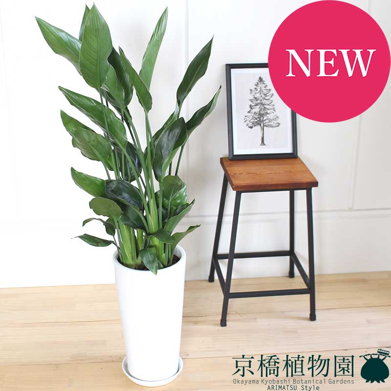 大型 (極楽鳥花) 観葉植物 115cm 8号鉢 ギフト 人気の3株立ちストレリチア・レギネ インテリア