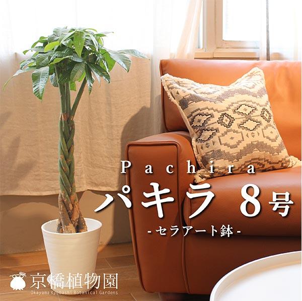 ★パキラ 8号(セラアート鉢)【インテリア おしゃれ 人気 通販 ギフト プレゼント】