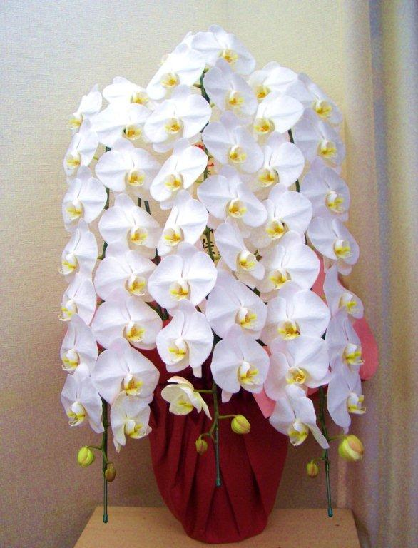 高品質の人気 【送料無料】胡蝶蘭(白)3本立C:フローリストSAKURA 店-花・観葉植物