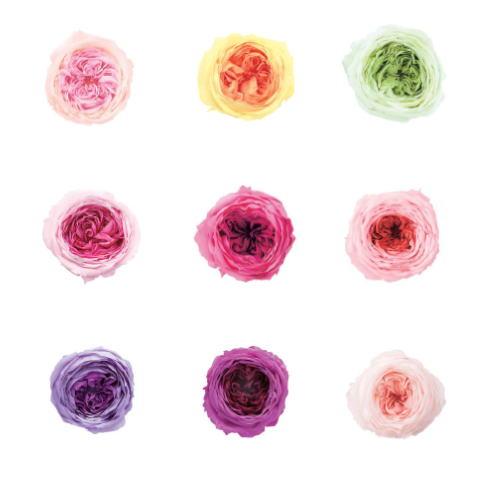 イングリッシュローズタイプの 商店 ローズ てまり ミルフィーユ プリザーブドフラワー 花材 材料 ばら 資材 手作り ハンドメイド テレビで話題