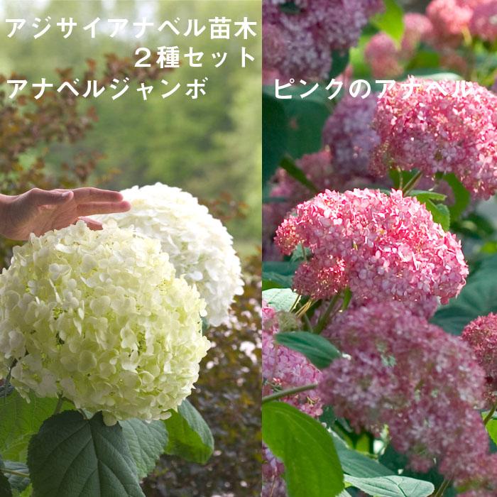 送料無料 アジサイアナベル苗2種セット 【アナベルジャンボ1個+ピンクのアナベル1個=合計2個】 15cmポット大苗 (登録品種)