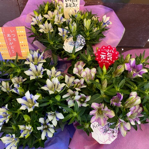 つぼみいっぱいで咲いてくるのが楽しみな優良産地の花 りんどうの鉢 業界No.1 心美シリーズ5号鉢 きれいに咲く可憐な花です コンパクトで飾りやすい ただ今発送中 在庫一掃 離島はNG 送料無料 オリジナルカードOK 沖縄