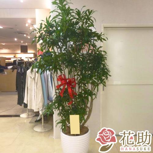【観葉植物】フラワーコンシェルジュが厳選した花屋の観葉植物 40000円 無料ラッピング、メッセージカード付き【楽ギフ_メッセ入力】