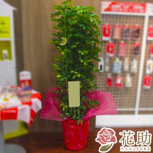 【観葉植物】フラワーコンシェルジュが厳選した花屋の観葉植物 11000円 無料ラッピング、メッセージカード付き【楽ギフ_メッセ入力】