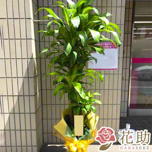 【観葉植物】フラワーコンシェルジュが厳選した花屋の観葉植物 15000円 送料無料、ラッピング無料、メッセージカード無料 【楽ギフ_メッセ入力】