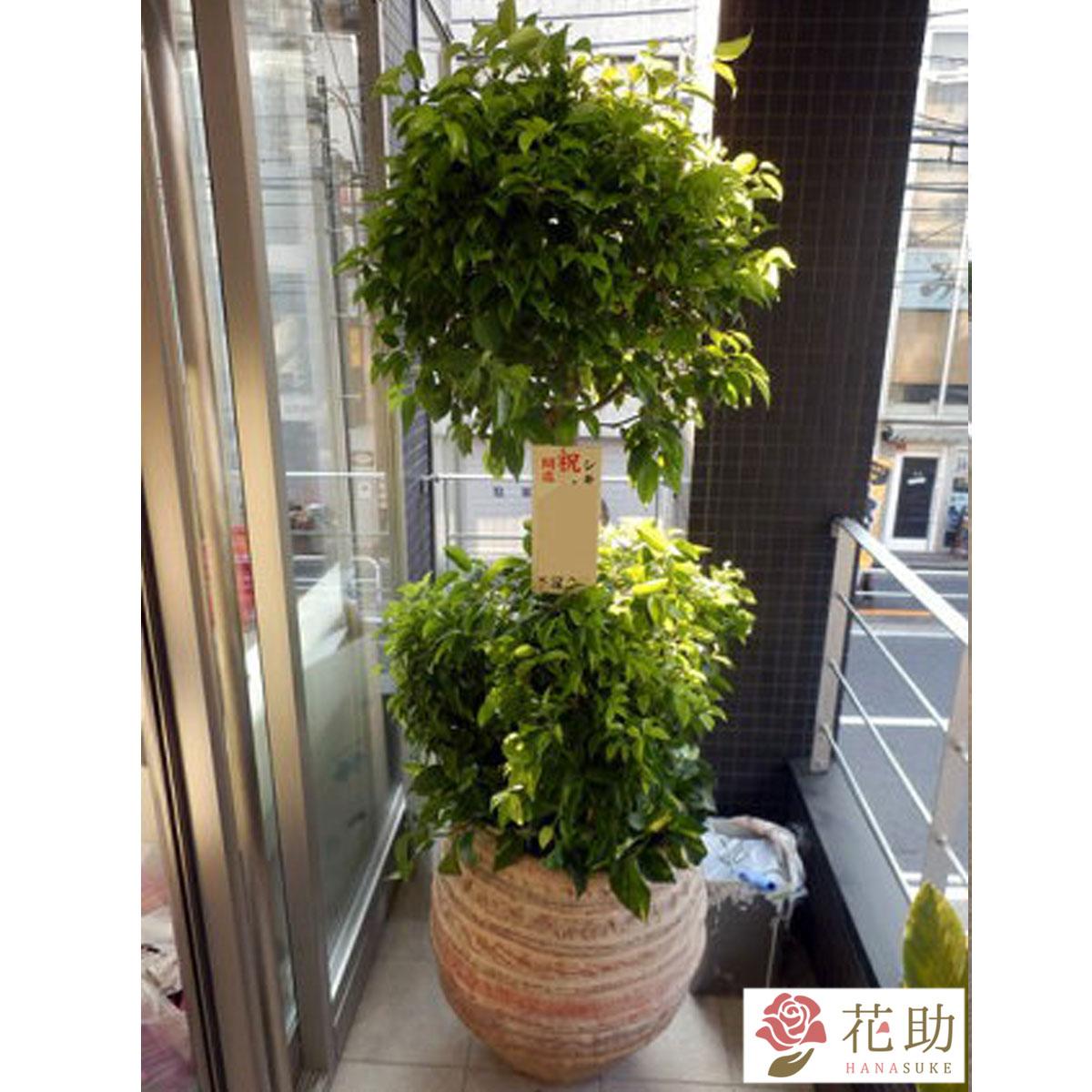 【観葉植物】フラワーコンシェルジュが厳選した花屋の観葉植物 45000円 無料ラッピング、メッセージカード付き【楽ギフ_メッセ入力】