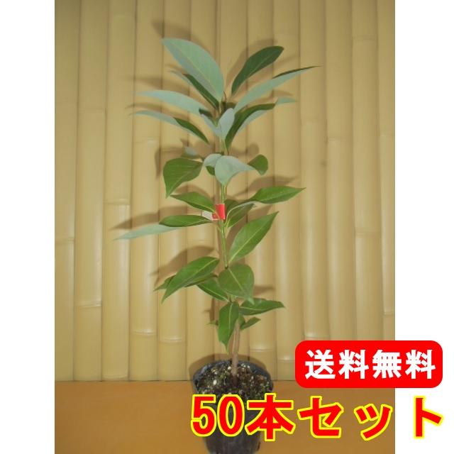 タブノキ【50本セット】樹高0.3m前後10.5cmポット【送料無料】//