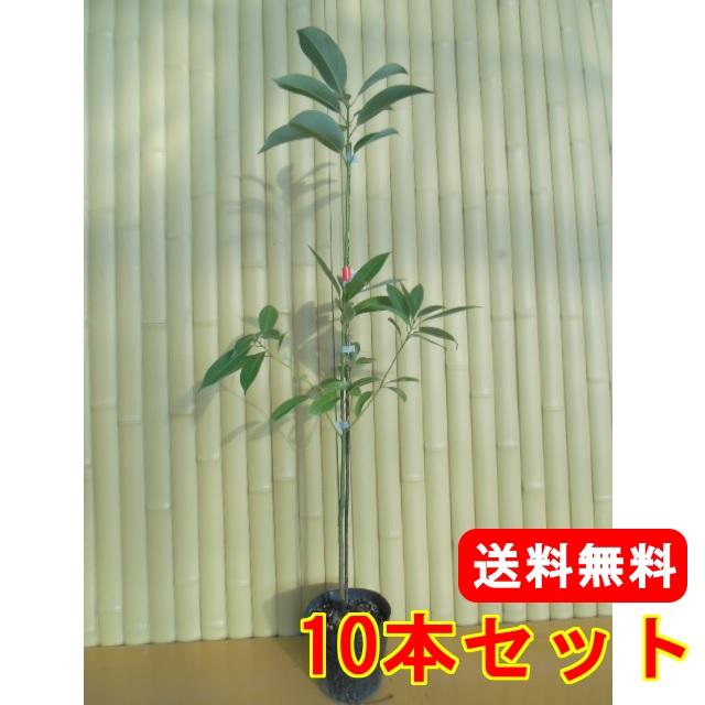 タブノキ 【10本セット】 樹高1.0m前後 15cmポット 【M送料無料】 / /